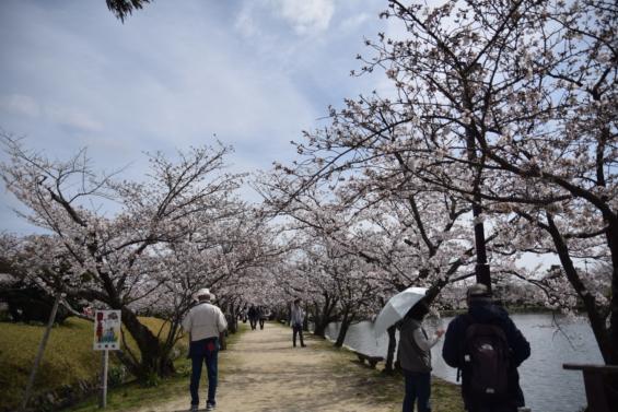 小城公園 桜 花見